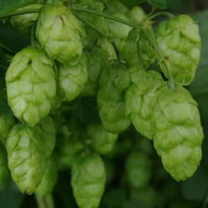 Bramling Cross Hops