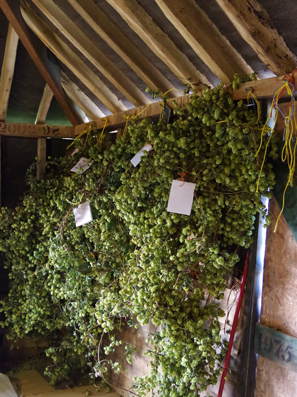 dried hops for sale in oast