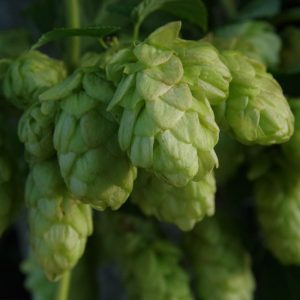 goldings hops
