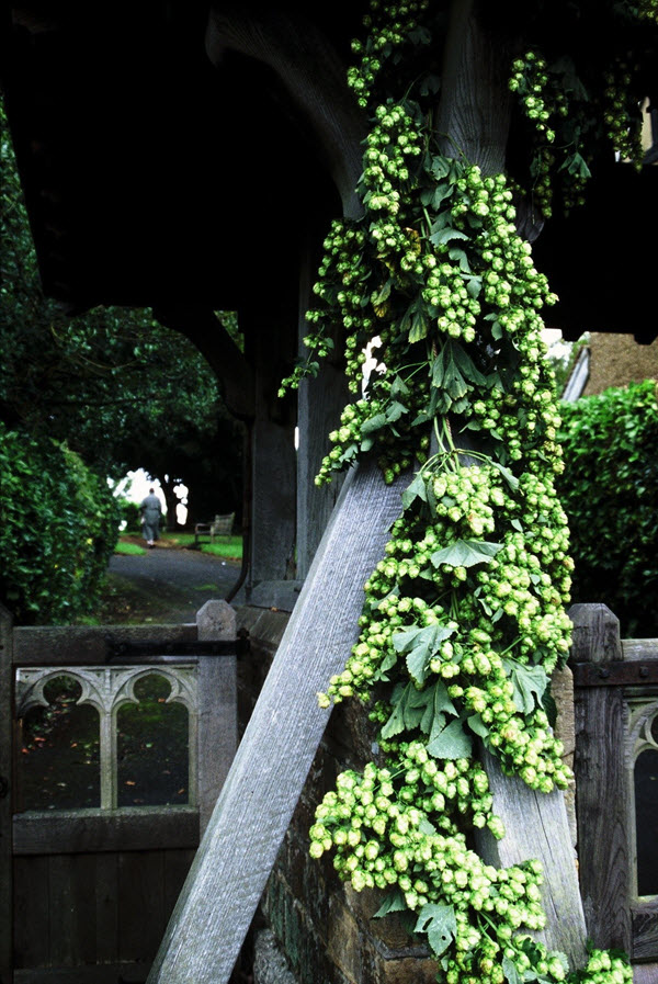 hops for decoration
