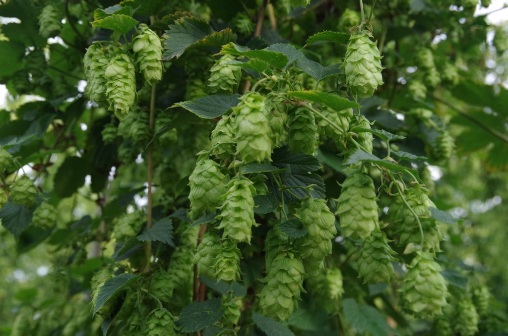 pilgrim hops how they grow and their characteristics