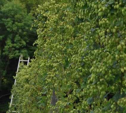 cascade hops nearly ready for picking