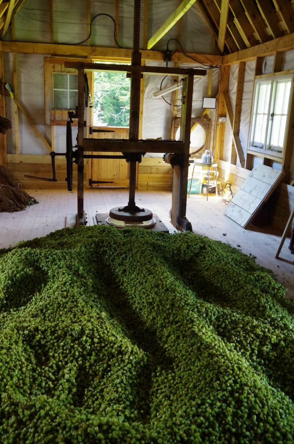 dried cascade hops cooling on the floor
