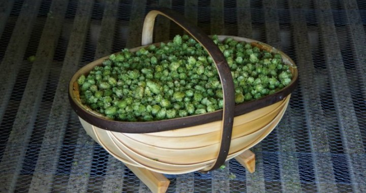 dried hops for home brewing