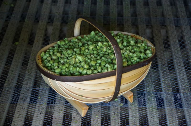 half a bushel trug full of hops for home brewing
