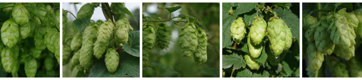Buy Hops from our Hop Shop