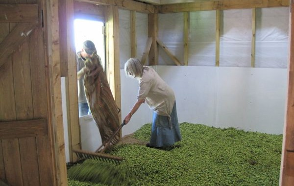 load of cascade hops in the kiln
