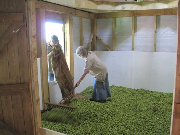 levelling the load of hops in the kiln
