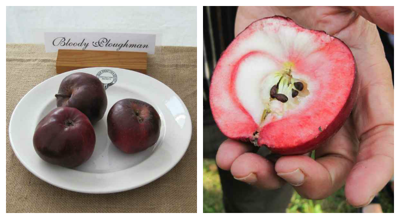 bloody ploughman apple
