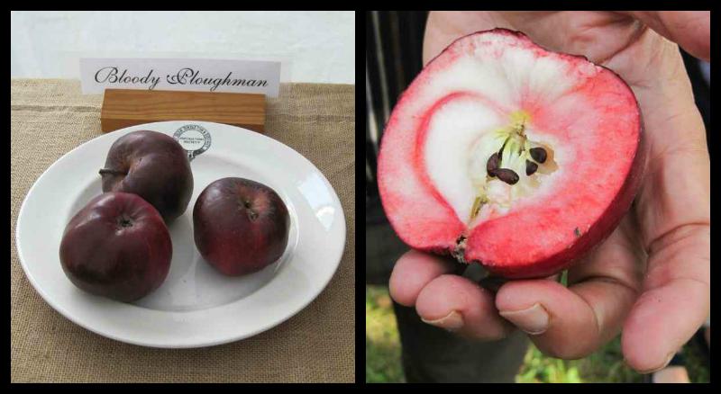 bloody ploughman apple