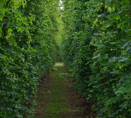 be a hop grower for a season