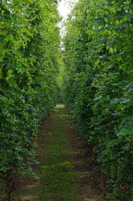 hop grower