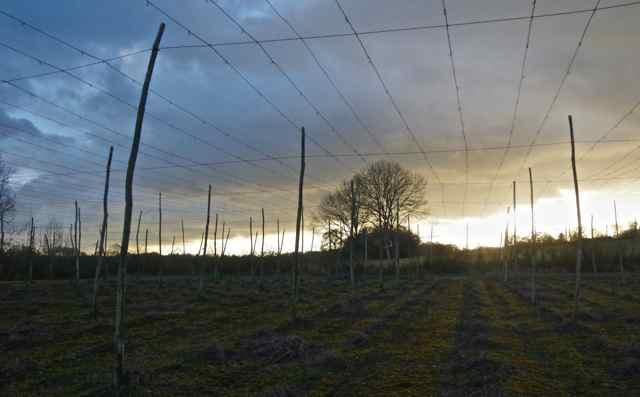 hop viniculture structure, hop garden, hop growing