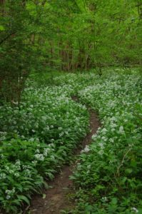 track into the woods. wild garlic,native woodlands