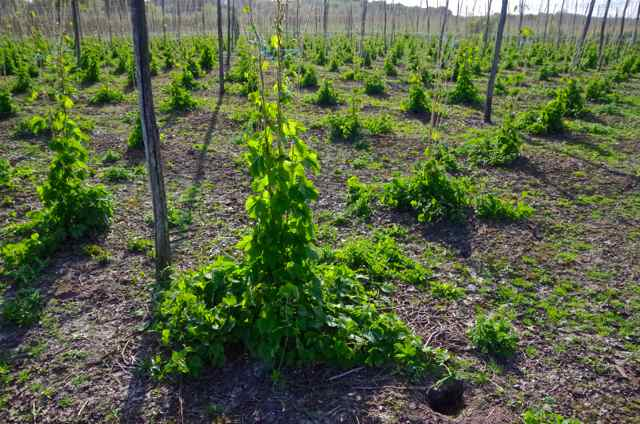 hops ready to be firsted