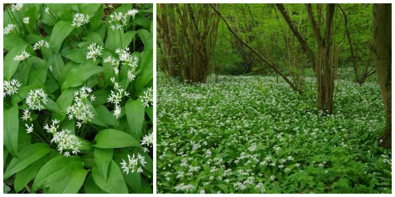 wild garlic collage