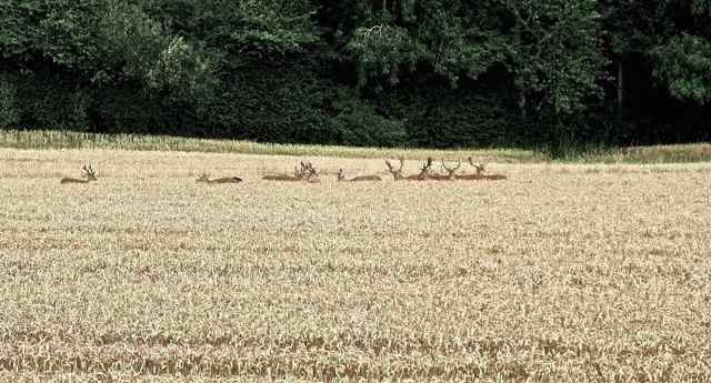 deer in corn ad 2