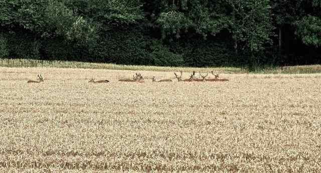 deer in corn ad 2