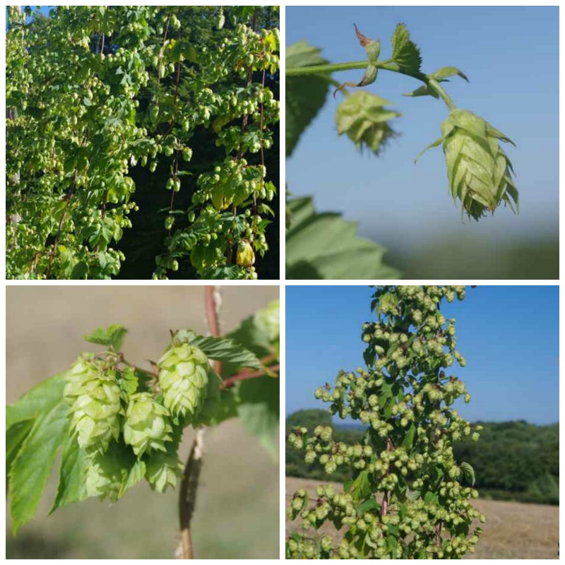 heritage hop varieties for the home brewer