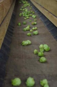First Gold hops on conveyor