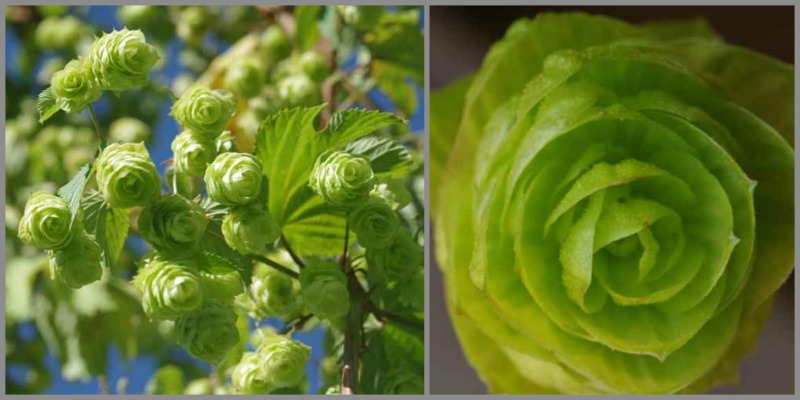 Heritage Hop variety Keyworth Early