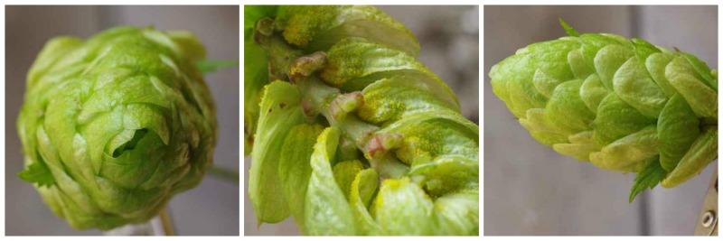 Norhtern Brewer Hop variety