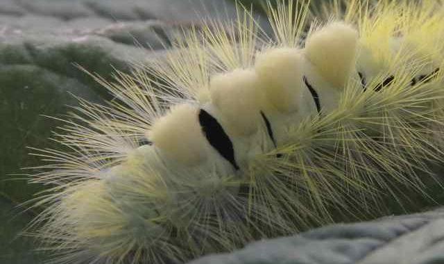 hop-dog caterpillar