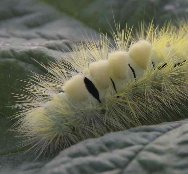 hop-dog caterpillar