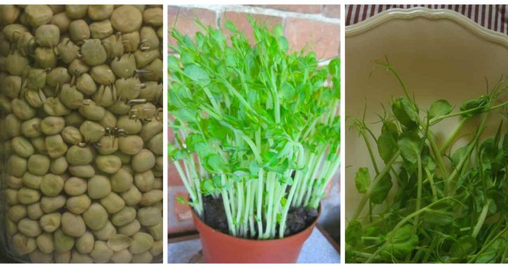 Fresh pea shoots are a tasty salad addition