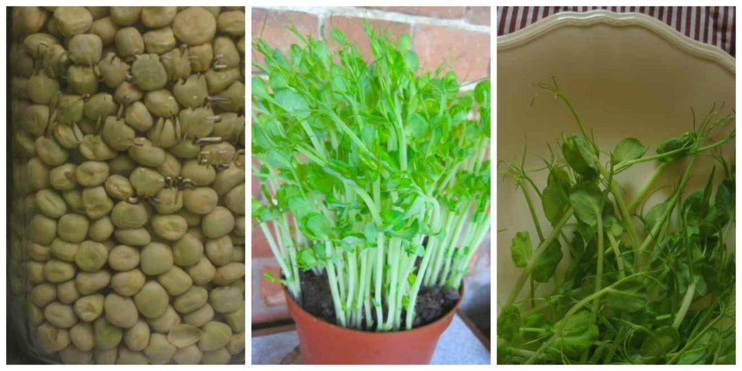 Fresh pea shoots are a tasty salad addition