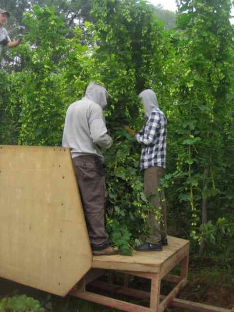 Bramling Cross hop being loaded for picking