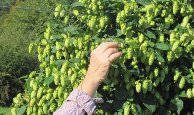 cascade hops for hop infused whisky