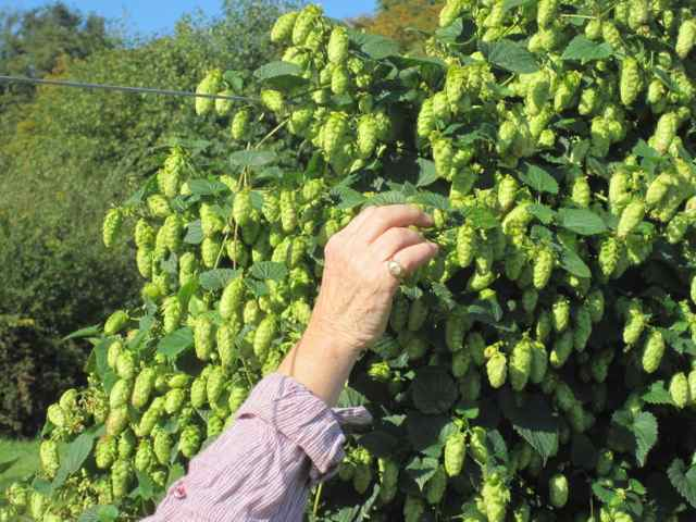 cascade hops for hop infused whisky