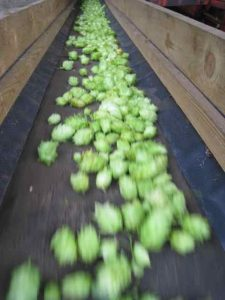 hops on Allaeys conveyor