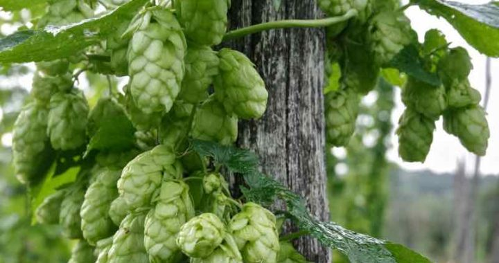 hop growers A-Z