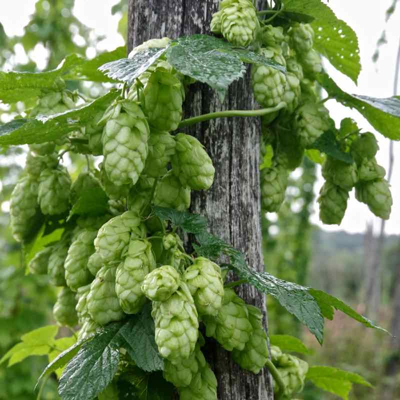 hop growers A-Z