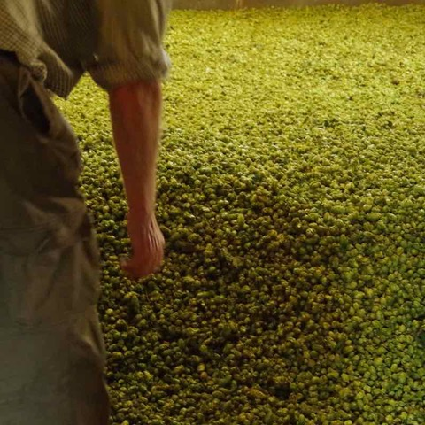 Drying Hops is Where a Golden Alchemy Happens