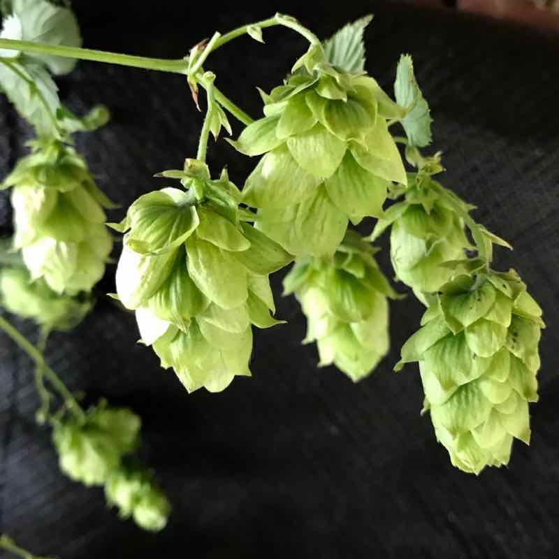 What Do Hops Smell Like