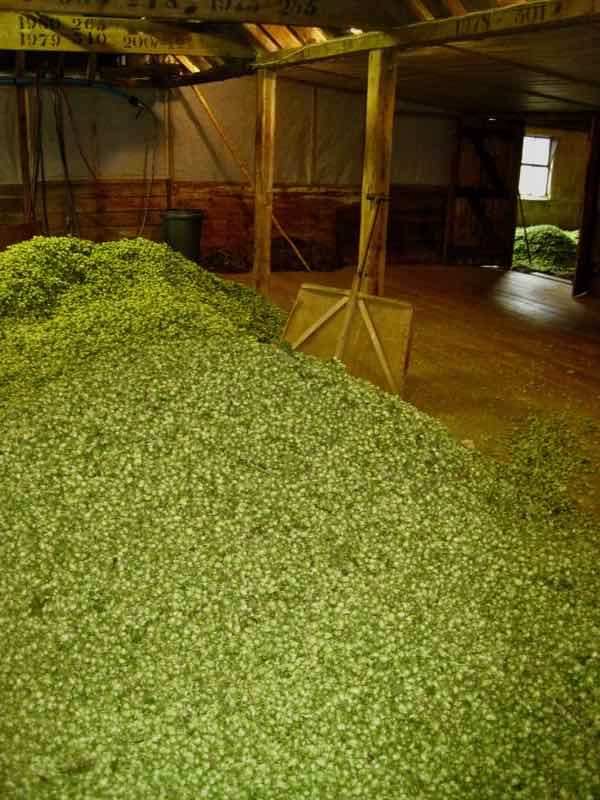 hops drying in the oast