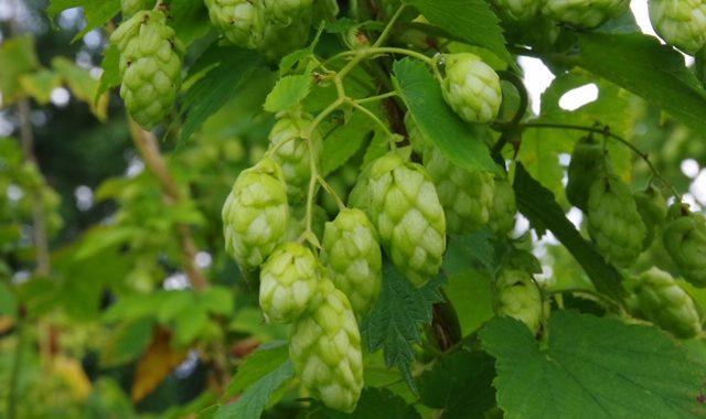 Colgate British heritage hop varieties