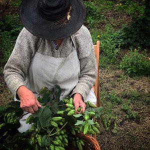 hand picking hops